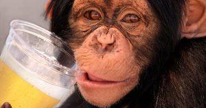 Mono bebiendo cerveza